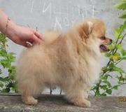 Продам шикарного щенка шпица