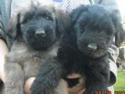 Продаются щенки бриара