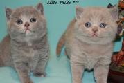 Продаются котята от питомника британских кошек Elite Pride